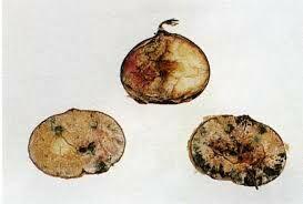 Gesztenye fomopsziszos betegsége