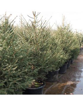 Picea abies - Lucfenyő (konténeres)