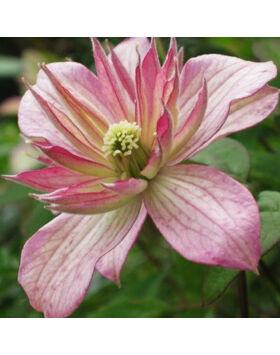 Clematis 'Marjorie' – Iszalag (barackszínű virágú)