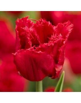 Rojtos szirmú tulipán 'Red Wing'