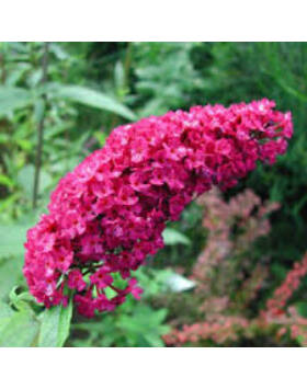 Buddleia davidii 'Royal Red'- Bíborpiros nyáriorgona