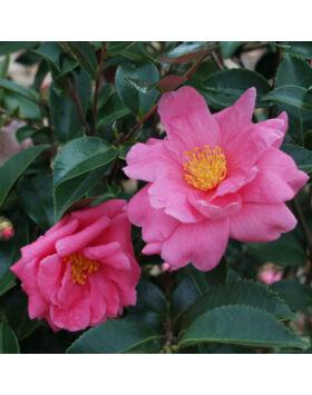 Camellia japonica 'Winter Joy' – Kamélia