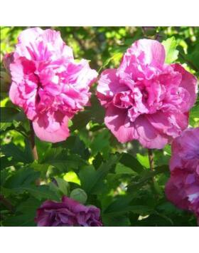 Hibiscus syriacus 'Sanchoyo' – Mályvacserje