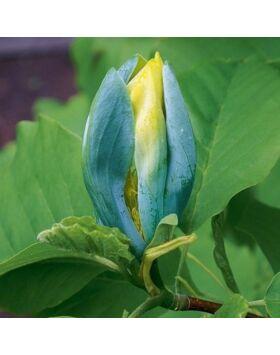 Magnolia acuminata 'Blue Opal' – Hegyeslevelű, kék liliomfa