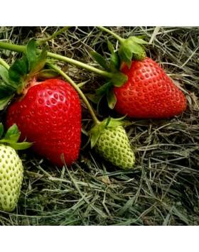 Fragaria 'Quicky' – Eper
