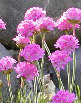Armeria maritima 'Schöne von Fellbach' - Tengerparti pázsitszegfű (lila-rózsaszín)
