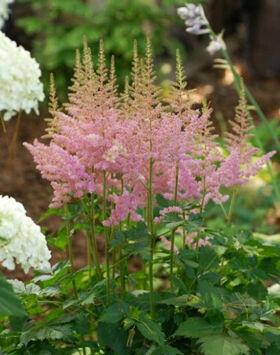 Astilbe chinensis 'Visions in Pink' - Kínai tollbuga (világos rózsaszín)
