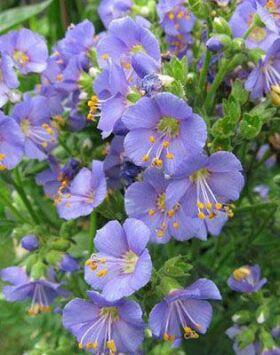 Polemonium caeruleum 'Bambino Blue' – Csatavirág