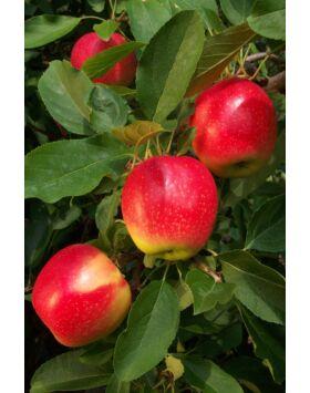 'Tenroy' Royal Gála alma - Extra méretű koros alma