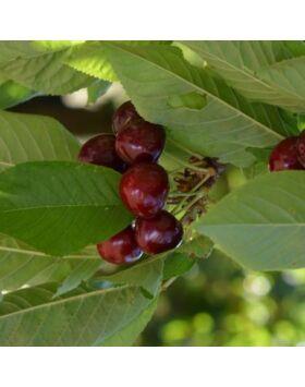 'Kavics' cseresznye (konténeres)