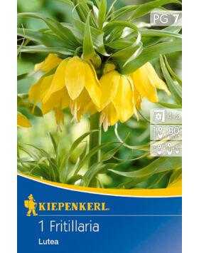 Fritillaria 'Lutea' császárkorona