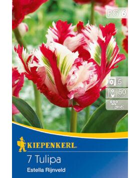 Tulipán 'Estella Rijnveld'