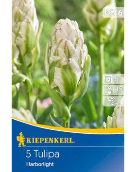 Tulipán 'Harborlight'