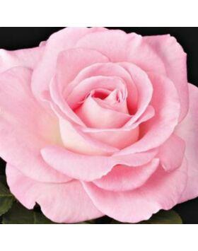 Rosa 'Kanizsa' - rózsaszín teahibrid rózsa