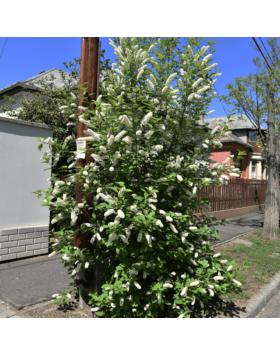 Prunus padus – Zelnicemeggy