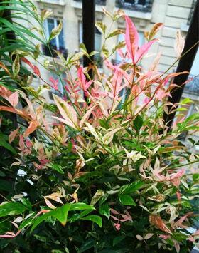 A sokszínű japán szentfa lombozata