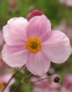 A szellőrózsa virágának bája utánozhatatlan
