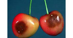 vajon a cseresznye lefogy fogyás sedona