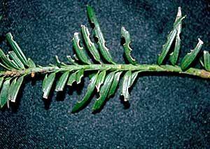 A tiszafa ormányosbogár kártétele