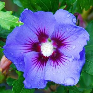 Az egzotikus színekben tündöklő 'Blue Bird' hibiszkusz fajta