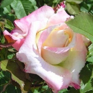 Finom szirom-színekkel rendelkező Apache rózsa virágfeje