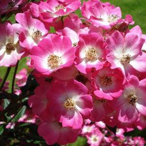 A fenséges megjelenésű Mozart rózsa virágzása