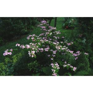 Viburnum plicatum 'Pink Beauty' – Rózsaszín virágú redős bangita