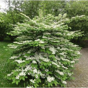 Viburnum plicatum 'Watanabe' – Redős levelű bangita