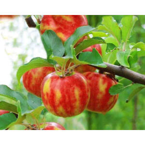 'Karneval®' csíkozott alma