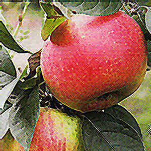 'Asztracháni piros' régi almafajta
