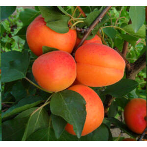 'Orangered' (Bhart) kajszibarack