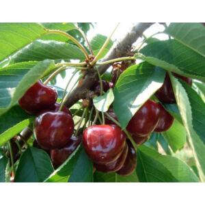 'Badacsonyi ropogós' cseresznye – vadcseresznye alanyon