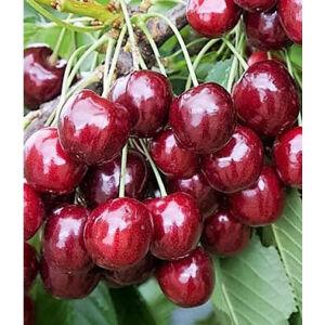 'Disznódi fűszeres' cseresznye