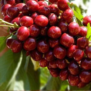 'Lapins' öntermékeny cseresznye