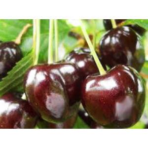 'Margit' cseresznye