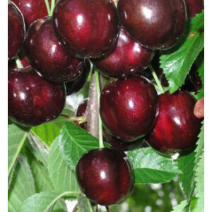 'Rita' cseresznye - Extra méretű koros cseresznye