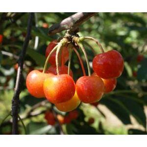 'Vega' cseresznye