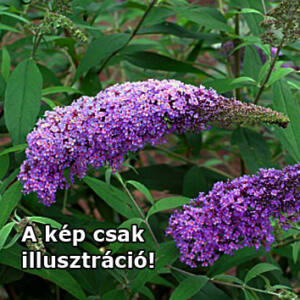 Buddleia 'Purple Splendor'® - Lila, illatos virágú, alacsony nyáriorgona