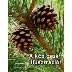 Pinus sylvestris 'Glauca Drath' – Erdeifenyő
