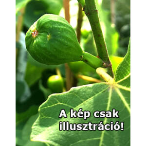 Ficus carica 'Domicilio' – Füge