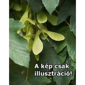 Acer pseudoplatanus 'Zenith'' – Hegyi juhar