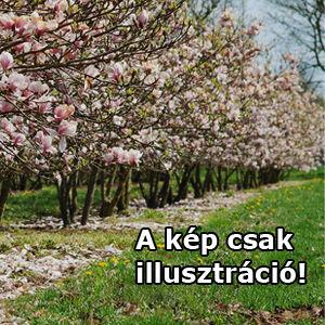 Magnolia soulangeana 'Superba' – Liliomfa