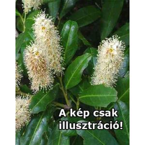 Prunus laurocerasus 'Hagar®' – Babérmeggy