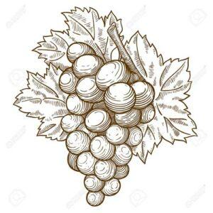 'Szilvia' fekete szőlő