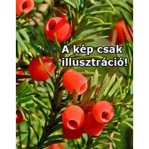 Taxus baccata 'Rábahídvégi klón' - Tiszafa