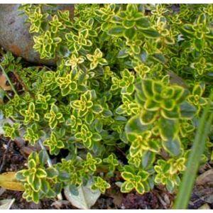 Thymus citriodorus - Citromillatú kakukkfű
