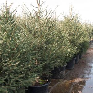 Lucfenyő karácsonyfa - Picea abies (konténeres)