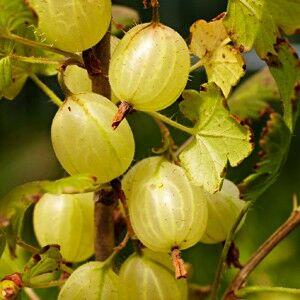Ribes uva-crispa 'Hinnomaki' (Gelb/Gul) - Egres bokor (sárga termésű)