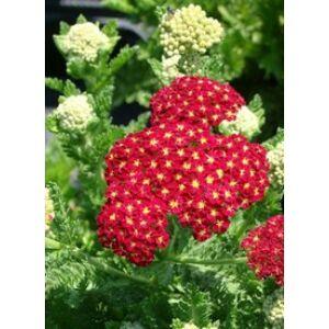 Achillea millefolium 'Summer Fruits Carmine' - Sötétpiros közönséges cickafark