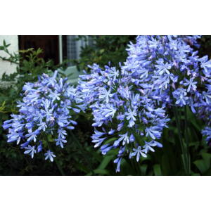 Agapanthus africanus - Szerelemvirág (kék)